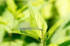 Smok komarnica, pospolity błękitny damselfly Zdjęcia Stock