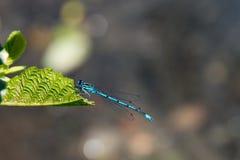 Smok komarnica, pospolity błękitny damselfly Fotografia Stock