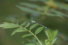 Smok komarnica w zielonym liściu zdjęcia royalty free