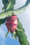 Smok owoc i smoka owocowy drzewo Obraz Royalty Free