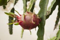 Smok owoc Pitaya Fotografia Stock