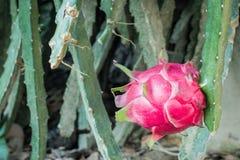 Smok owoc Pitaya Zdjęcia Royalty Free
