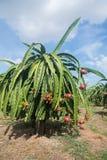 Smok owocowa plantacja w Wietnam Zdjęcia Royalty Free