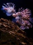 smok ryba Obrazy Stock
