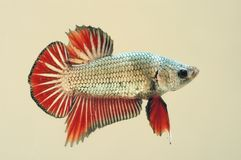 Smok skóry Betta Splenden ryba fotografia stock