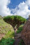Smoka drzewa Dracaena draco fotografia royalty free
