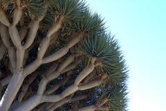 Smoka Drzewo Fotografia Royalty Free