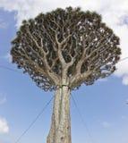 smoka drzewo Obrazy Royalty Free
