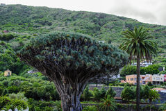 Smoka Drzewo (Dracaena draco) zdjęcia stock