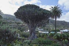 Smoka drzewo Tenerife zdjęcia royalty free