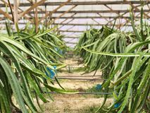 smoka gospodarstwa rolnego owoc Obrazy Royalty Free