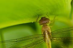 smoka komarnicy świeża zielona natura Zdjęcia Royalty Free