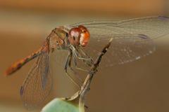 smoka komarnicy czerwień Fotografia Royalty Free