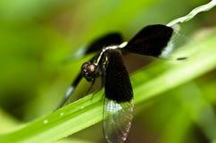 smoka komarnicy zieleni natura Obrazy Stock