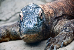 smoka komodo Obrazy Royalty Free