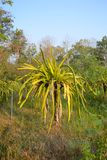 Smoka Owocowy drzewo Zdjęcie Stock