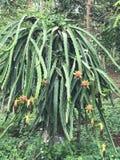 Smoka Owocowy drzewo Obraz Stock