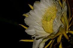 Smoka Owocowy kwiat 1 Obrazy Royalty Free
