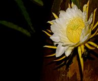 Smoka Owocowy kwiat Fotografia Stock
