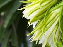 Smoka owocowy kwiat (Hylocereus spp) fotografia stock