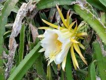 Smoka ` s owocowy kwiat zdjęcia royalty free