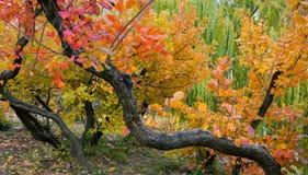 Smoke bush. Beautiful red and yellow leaves of smoke bush Cotinus Stock Photo