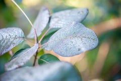 Smoke bush leaves Royalty Free Stock Photography