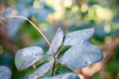 Smoke bush leaves Stock Photos