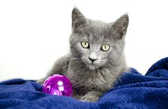 Smoke gray kitten with cat toy, animal shelter adoption photo. Female gray blue 8 week old cat, domestic short hair, in studio on white background and blue royalty free stock image