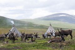 Reindeer herd and tepees in northern Mongolia. Smoke from the orts or tepees billow from the chimneys of the Tsaatan or Dukha peoples with their reindeer herd stock image