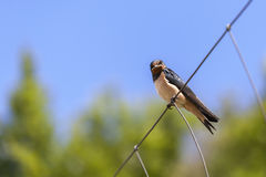 Smoke swallow on a fence Royalty Free Stock Photography