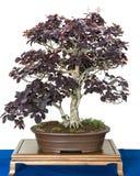 Smoke tree as bonsai Royalty Free Stock Images