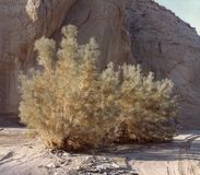 Smoke Tree in a California Desert Canyon royalty free stock images