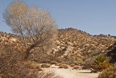 Smoke Tree in a Desert Wash. This is a smoke tree in a desert wash at Joshua Tree National Park Stock Photo