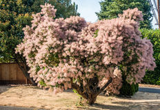 Smoke Tree Royalty Free Stock Photography