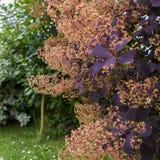 Smoketree européen violet images stock