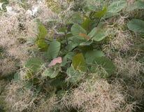 Smoketree in het stadspark Royalty-vrije Stock Afbeelding