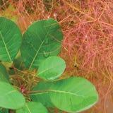 Smoketree rhus cotinus coggygria pink blooming, Royal Purple smoke bush flowering macro closeup, green leaves, large detailed Royalty Free Stock Image
