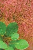 Smoketree rhus cotinus coggygria pink blooming, Royal Purple smoke bush flowering macro closeup, green leaves, large vertical Stock Photography