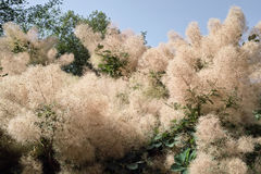 Smoketree, tree of the fog Royalty Free Stock Image