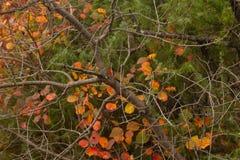 Smoketree van Cotinuscoggygria in de herfst royalty-vrije stock foto's