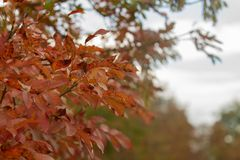 Smoketree van Cotinuscoggygria in de herfst royalty-vrije stock fotografie