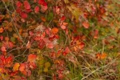 Smoketree van Cotinuscoggygria in de herfst stock foto