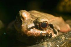 Smokey Dschungel-Frosch - Leptodactylus pentadactylus Lizenzfreies Stockbild