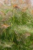 Smokey fennel. (Foeniculum vulgare var. Dulce Rubrum). Called Bronze fennel also Royalty Free Stock Photo