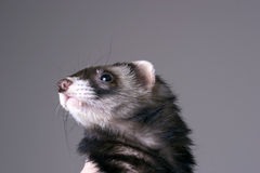Smokey the Ferret Royalty Free Stock Images