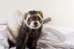 Smokey the Ferret. Dark sable male ferret with dark eyes and spotted nose. Dignity style of pose; looking to the future/past Stock Photos