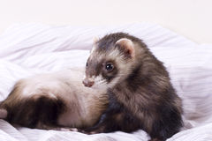 Smokey the Ferret. Dark sable male ferret with dark eyes and spotted nose. Dignity style of pose; looking to the future/past Royalty Free Stock Photo