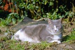 Smokey grå färger och vitkatt Royaltyfria Bilder