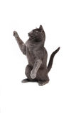 Smokey grey kitten Royalty Free Stock Photos